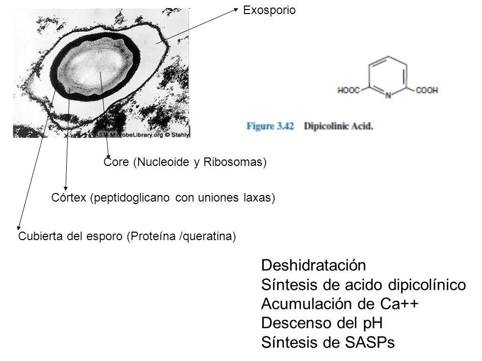 Síntesis de acido dipicolínico Acumulación de Ca++ Descenso del pH