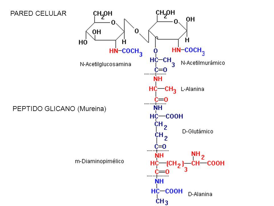 PARED CELULAR PEPTIDO GLICANO (Mureina)