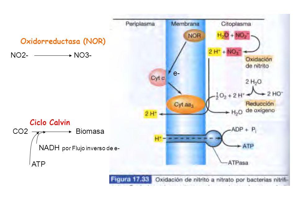 e- NO2- NO3- Oxidorreductasa (NOR) Ciclo Calvin. CO2 Biomasa.