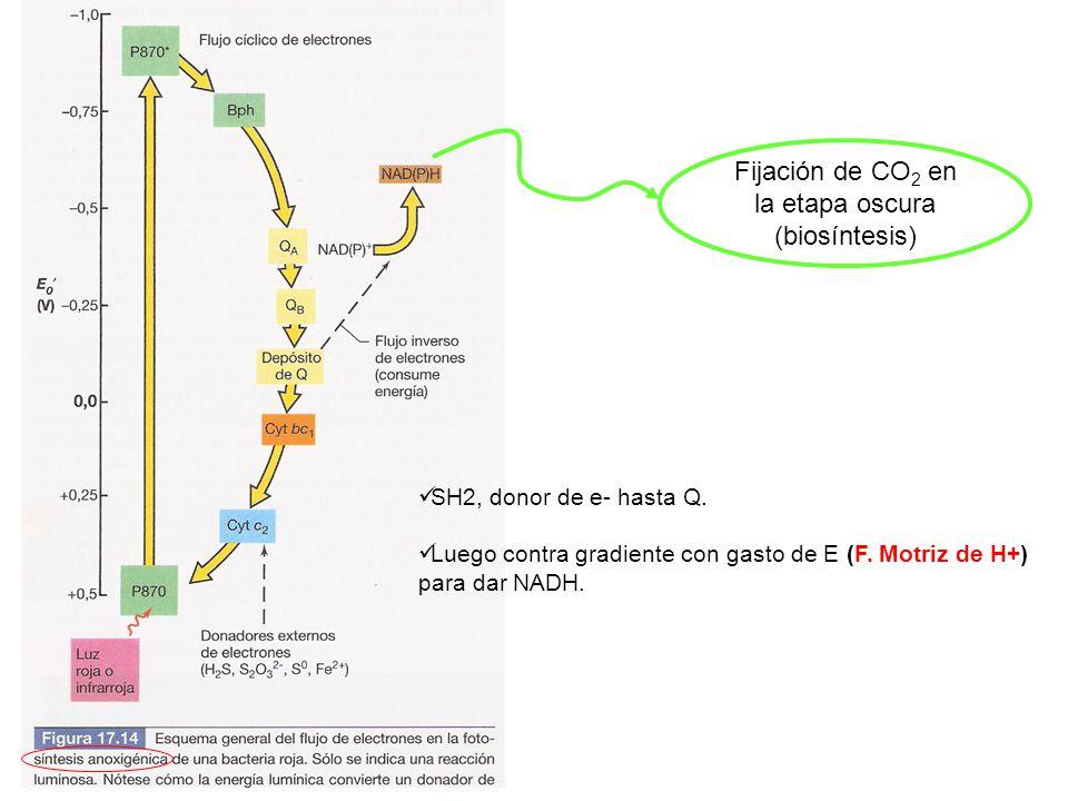 Fijación de CO2 en la etapa oscura (biosíntesis)
