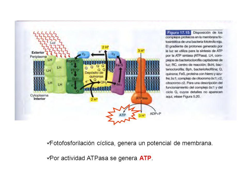 Fotofosforilación cíclica, genera un potencial de membrana.