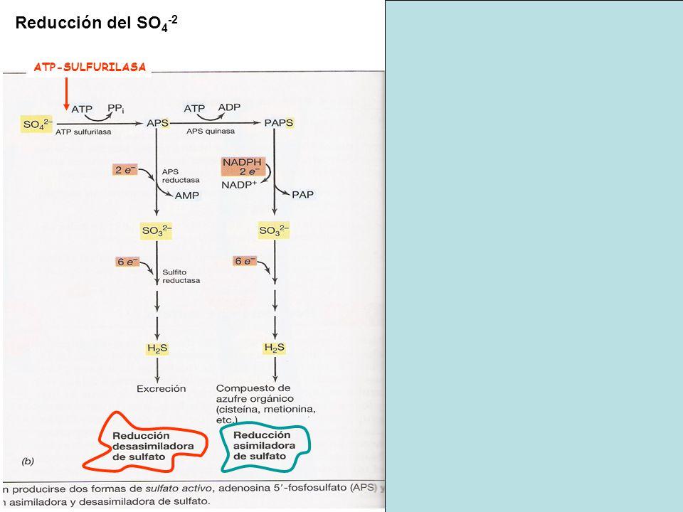 Reducción del SO4-2 ATP-SULFURILASA