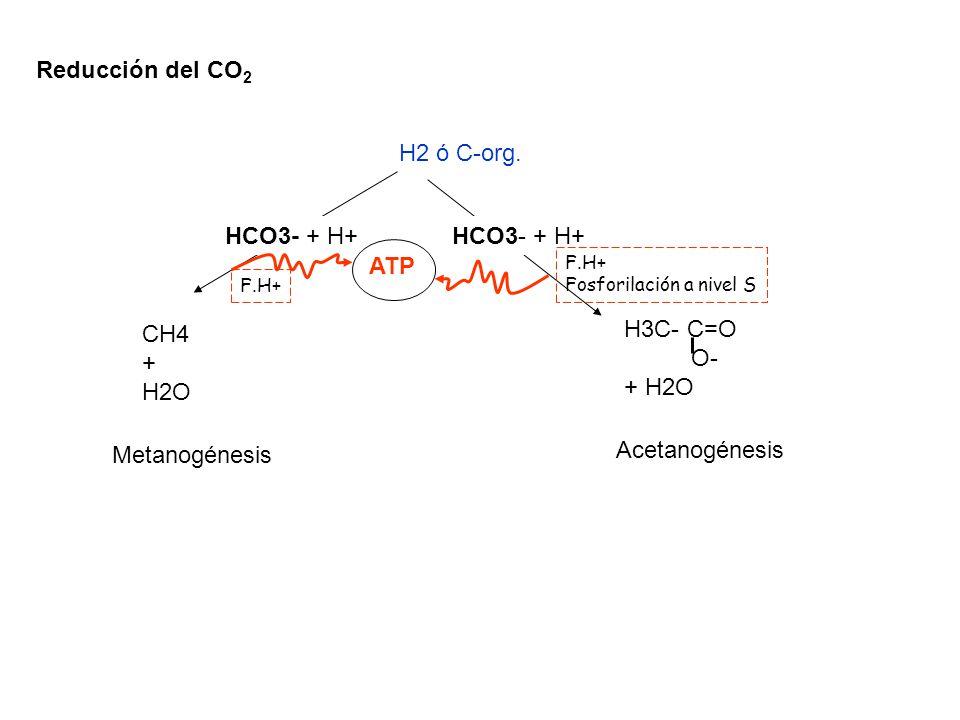 Reducción del CO2 H2 ó C-org. HCO3- + H+ ATP H3C- C=O CH4 O- + + H2O
