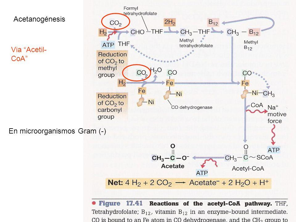 Acetanogénesis Via Acetil-CoA En microorganismos Gram (-)
