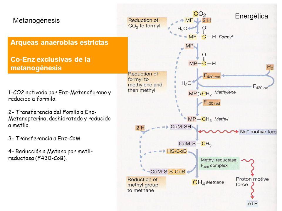 Arqueas anaerobias estrictas Co-Enz exclusivas de la metanogénesis
