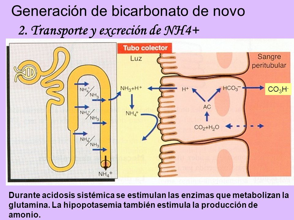 Generación de bicarbonato de novo 2. Transporte y excreción de NH4+