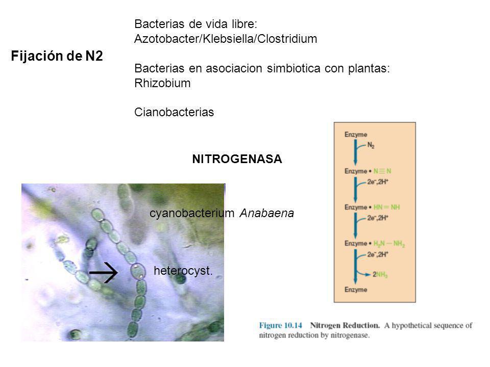 Bacterias de vida libre: Azotobacter/Klebsiella/Clostridium