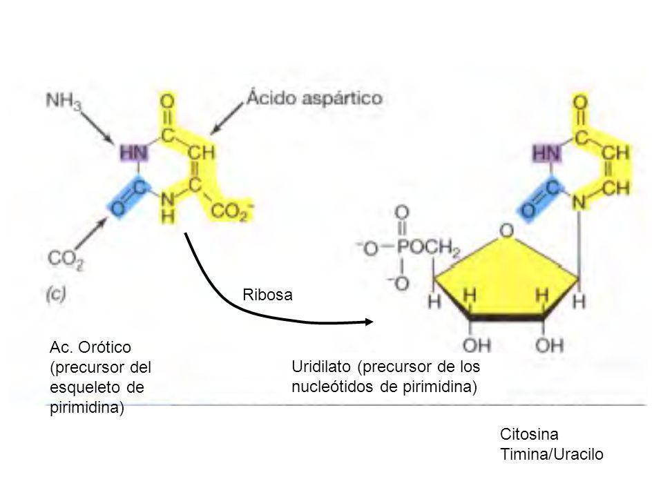 Ribosa Ac. Orótico (precursor del esqueleto de pirimidina) Uridilato (precursor de los nucleótidos de pirimidina)