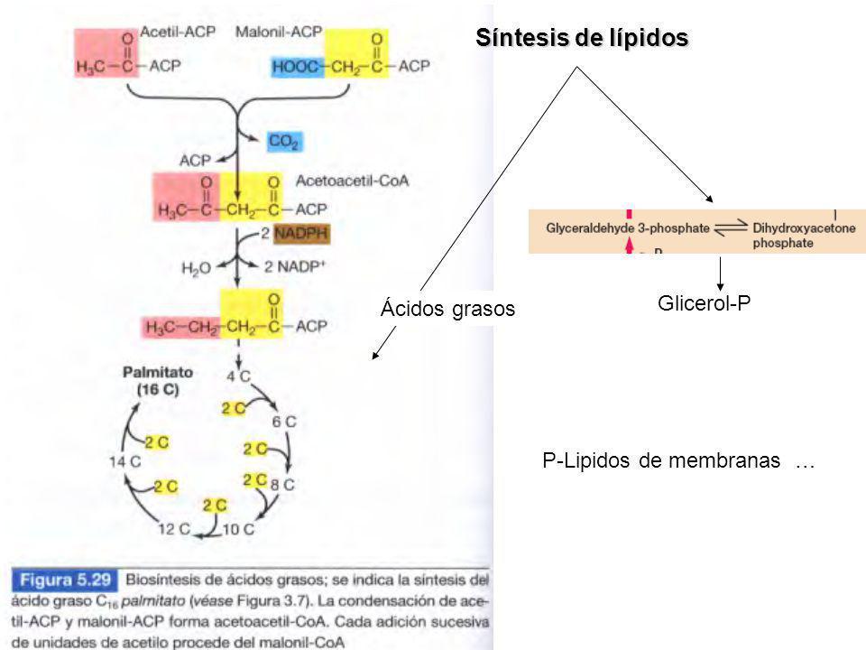 Síntesis de lípidos Ácidos grasos Glicerol-P P-Lipidos de membranas …