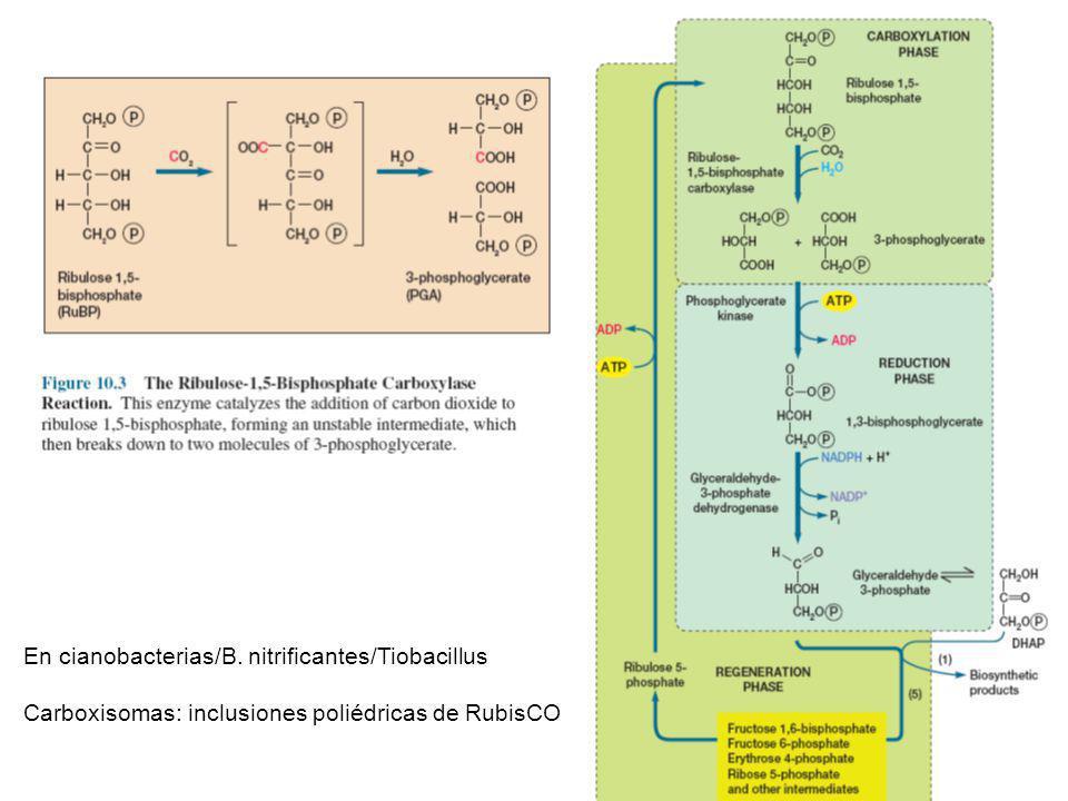 En cianobacterias/B. nitrificantes/Tiobacillus