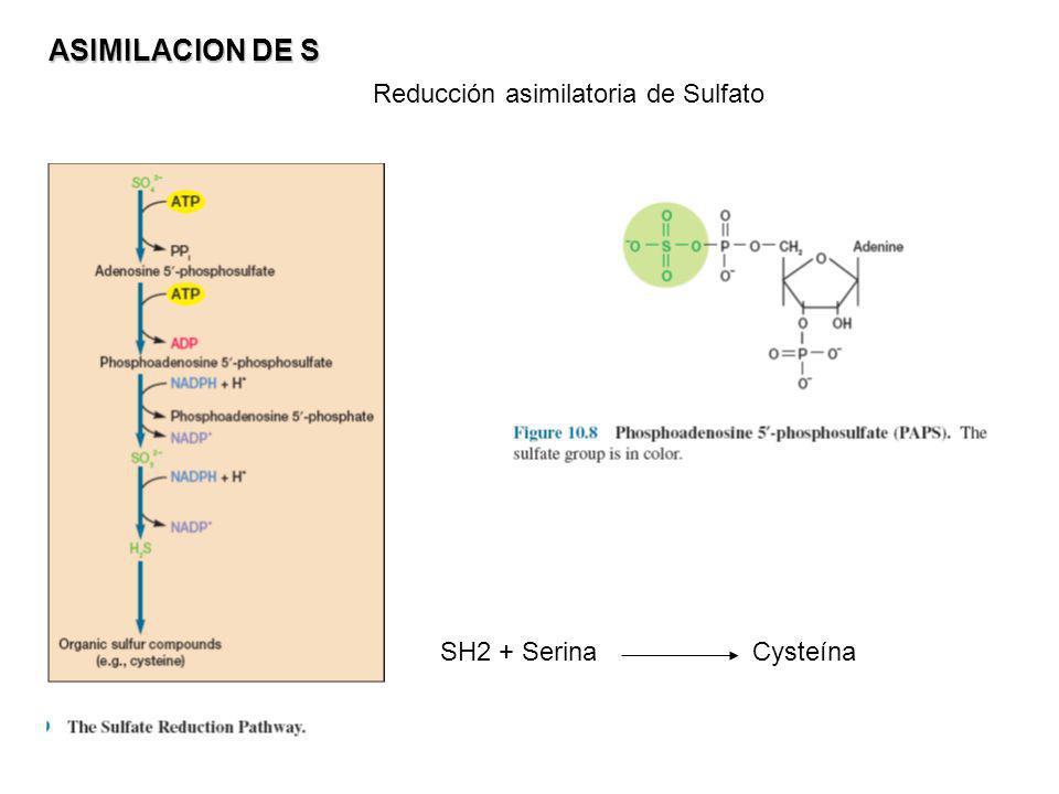 ASIMILACION DE S Reducción asimilatoria de Sulfato