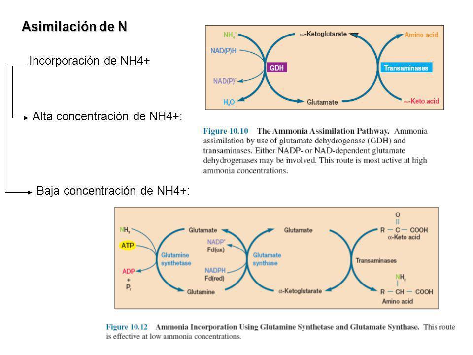 Asimilación de N Incorporación de NH4+ Alta concentración de NH4+: