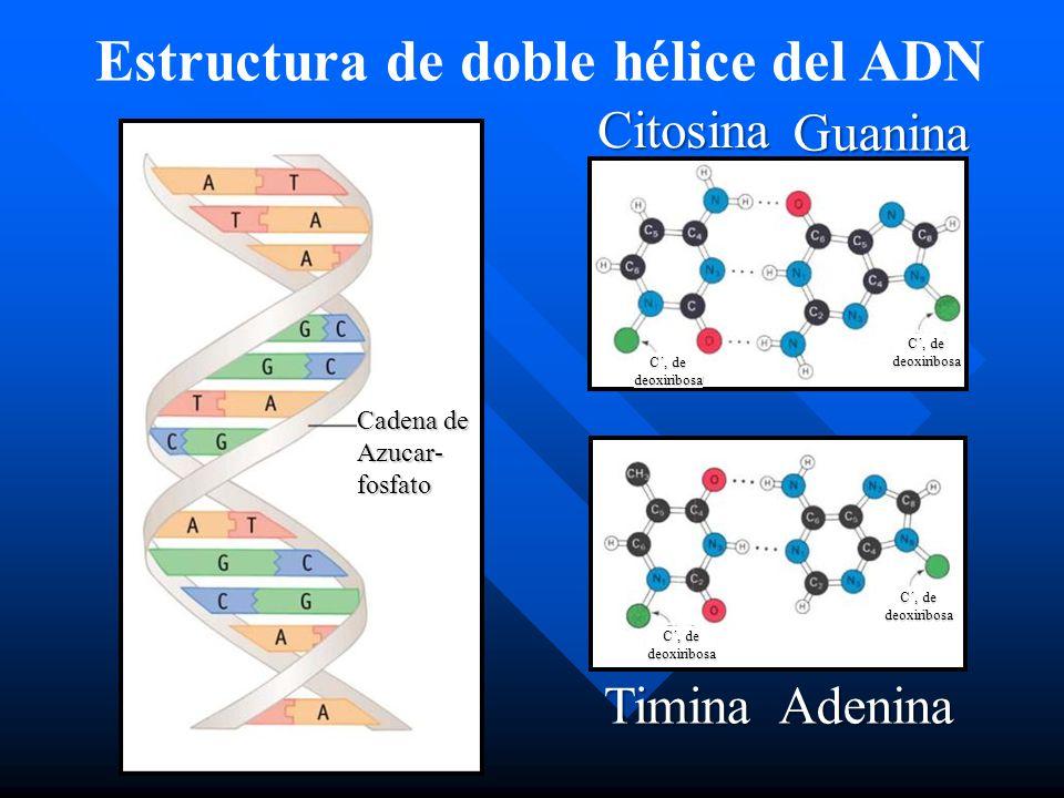 Estructura de doble hélice del ADN