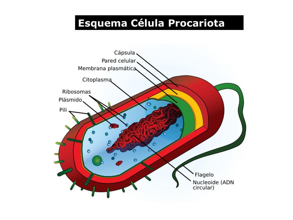 Esquema Célula Procariota