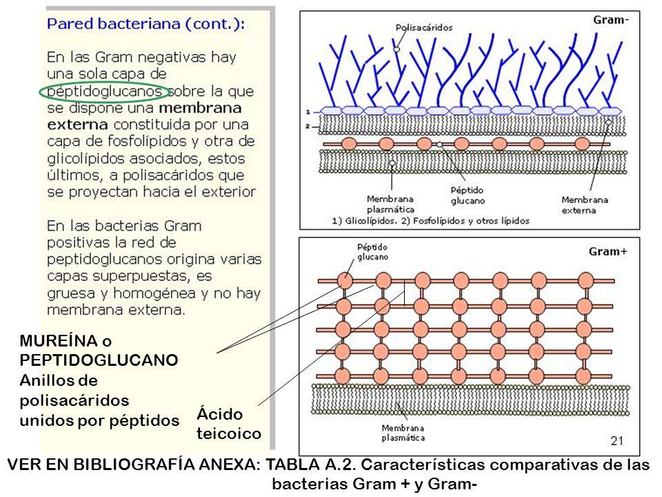 MUREÍNA o PEPTIDOGLUCANOAnillos de polisacáridos unidos por péptidos