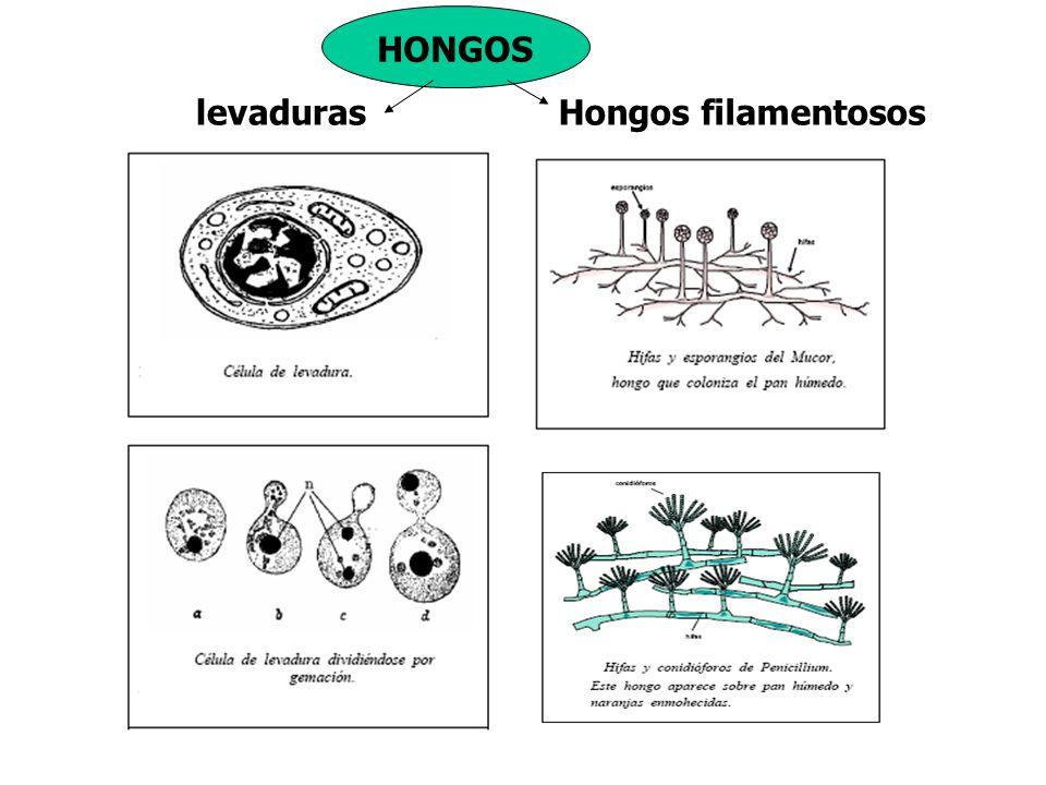 HONGOS levaduras Hongos filamentosos