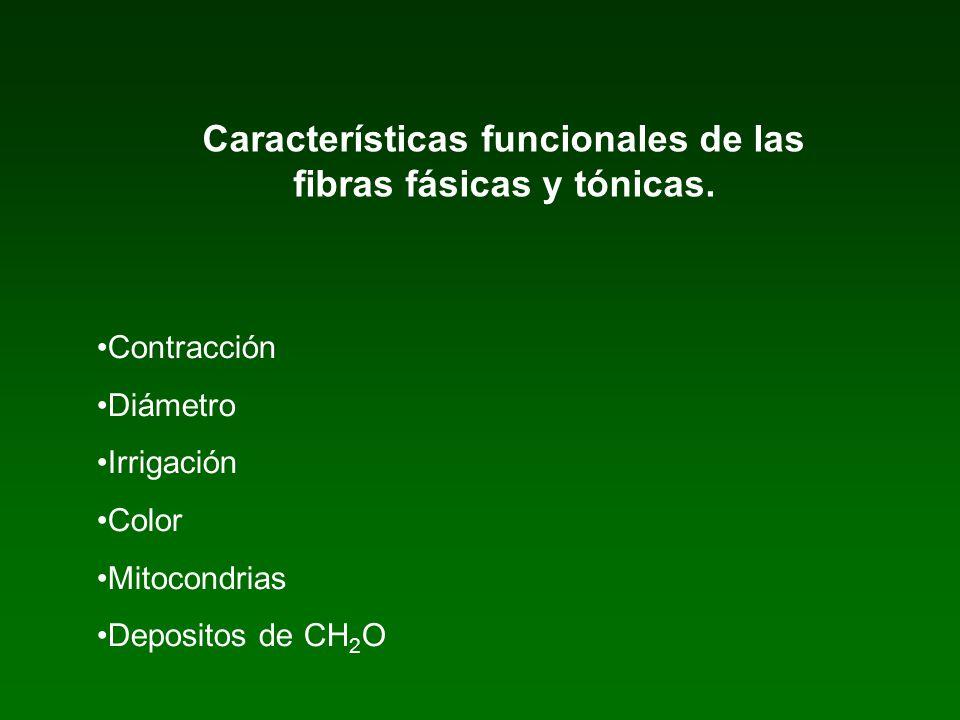 Características funcionales de las fibras fásicas y tónicas.