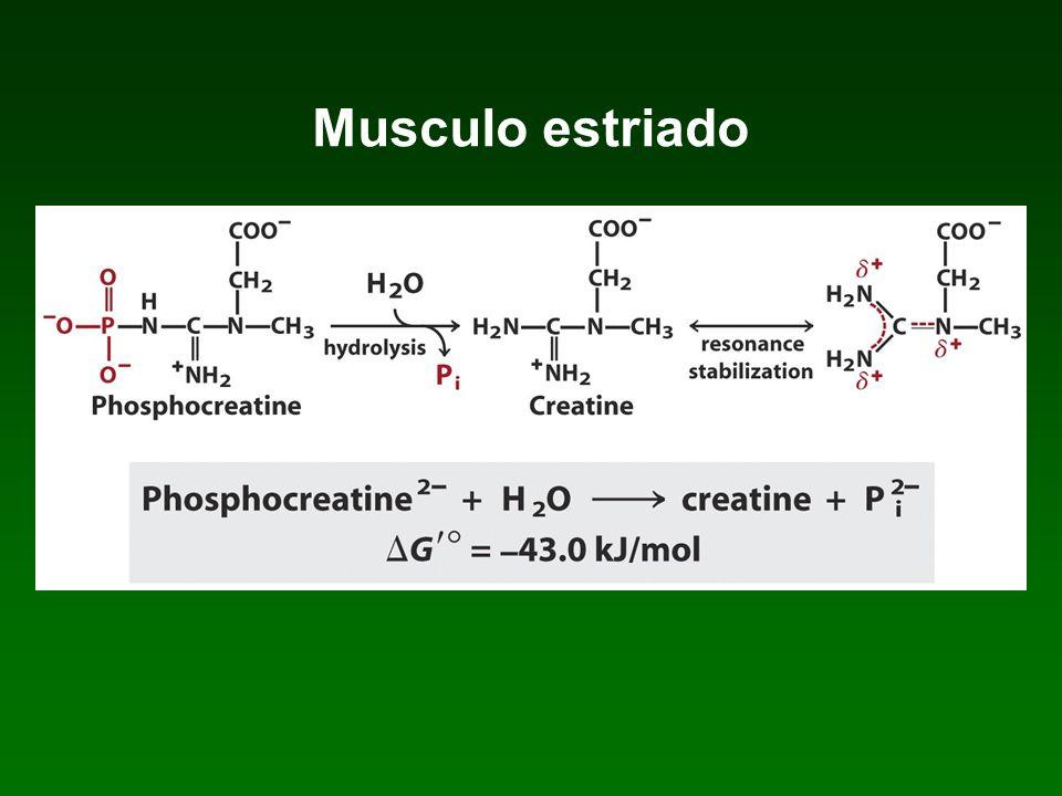 Musculo estriado Ubicación Nucleos Control