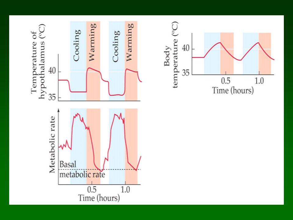 El hipotalamo es el termostato del cuerpo