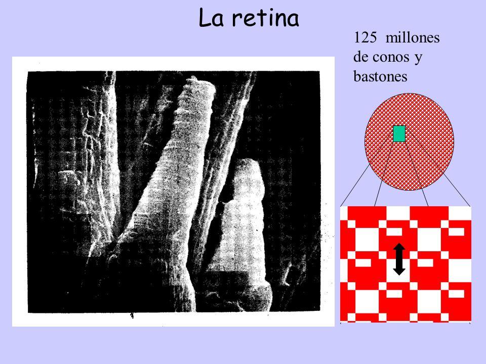 La retina 125 millones de conos y bastones cuación aumentos TRANS.