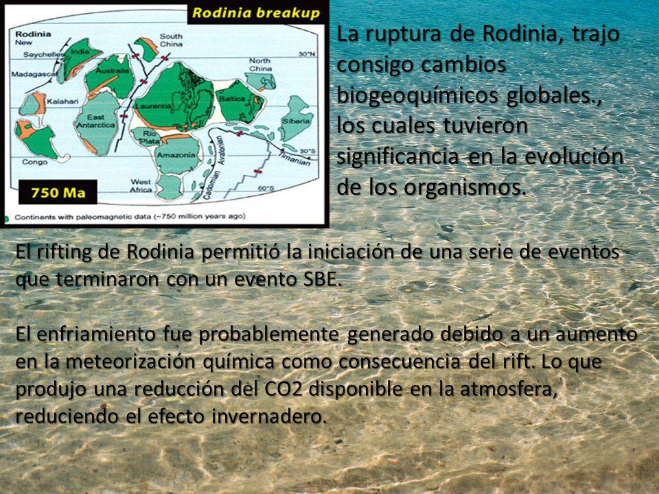 La ruptura de Rodinia, trajo consigo cambios biogeoquímicos globales