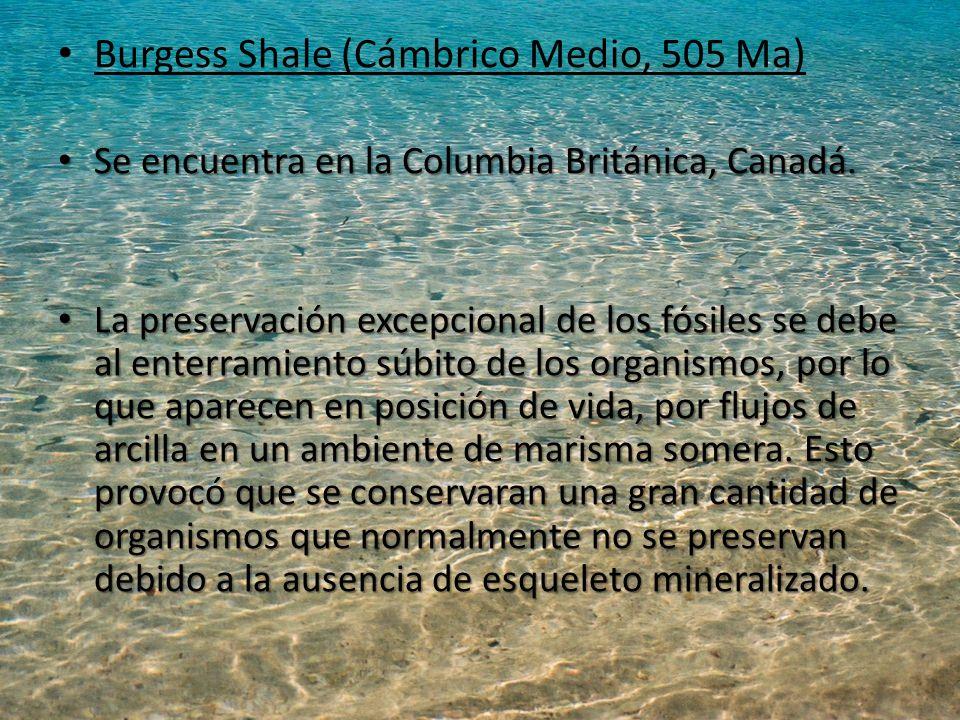 Burgess Shale (Cámbrico Medio, 505 Ma)