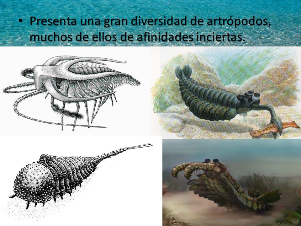 Presenta una gran diversidad de artrópodos, muchos de ellos de afinidades inciertas.
