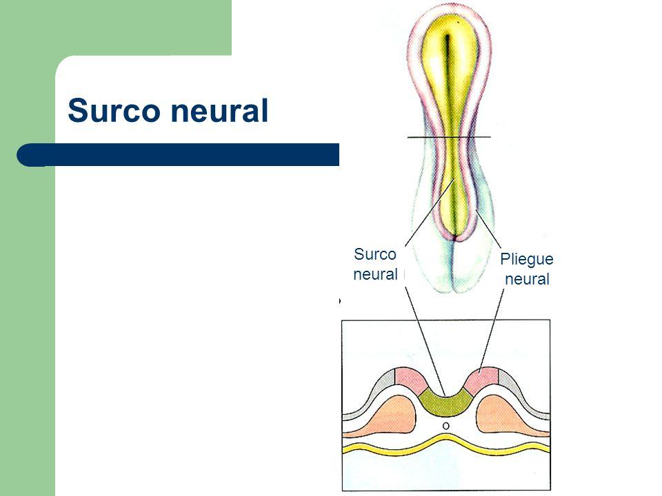 Surco neural Surco neural Pliegue neural