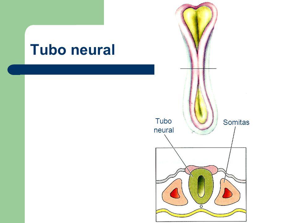 Tubo neural Tubo neural Somitas