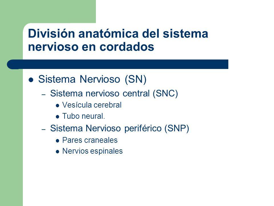 División anatómica del sistema nervioso en cordados