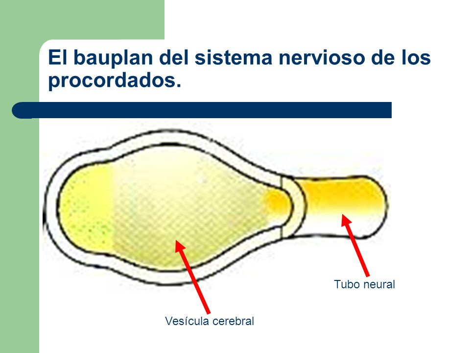 El bauplan del sistema nervioso de los procordados.