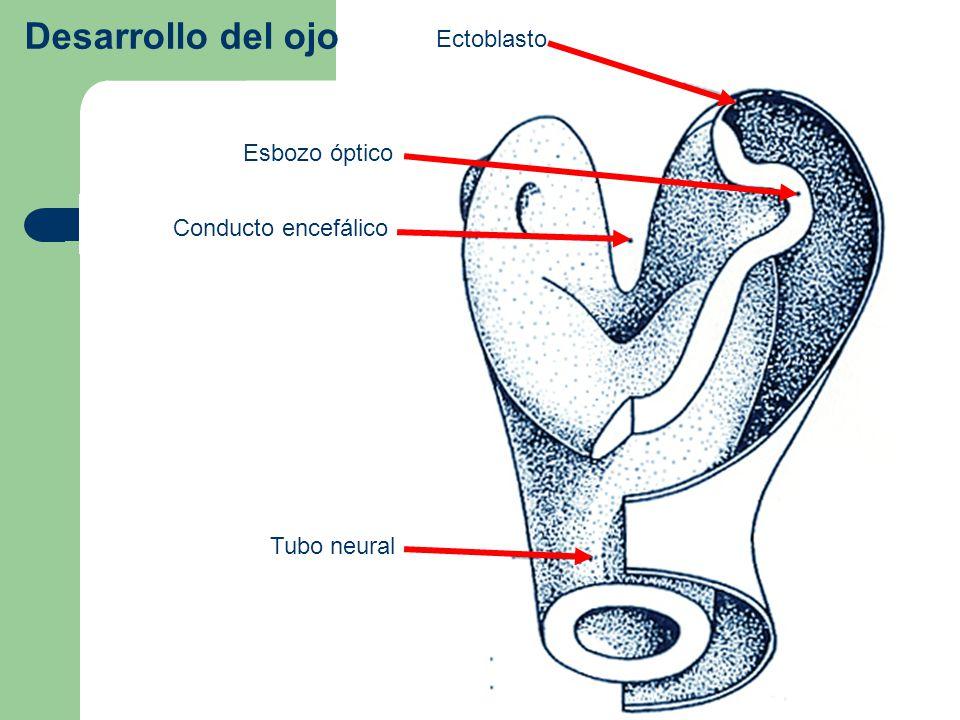 Desarrollo del ojo Ectoblasto Esbozo óptico Conducto encefálico