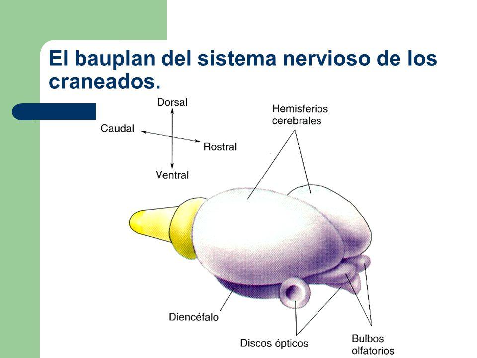 El bauplan del sistema nervioso de los craneados.