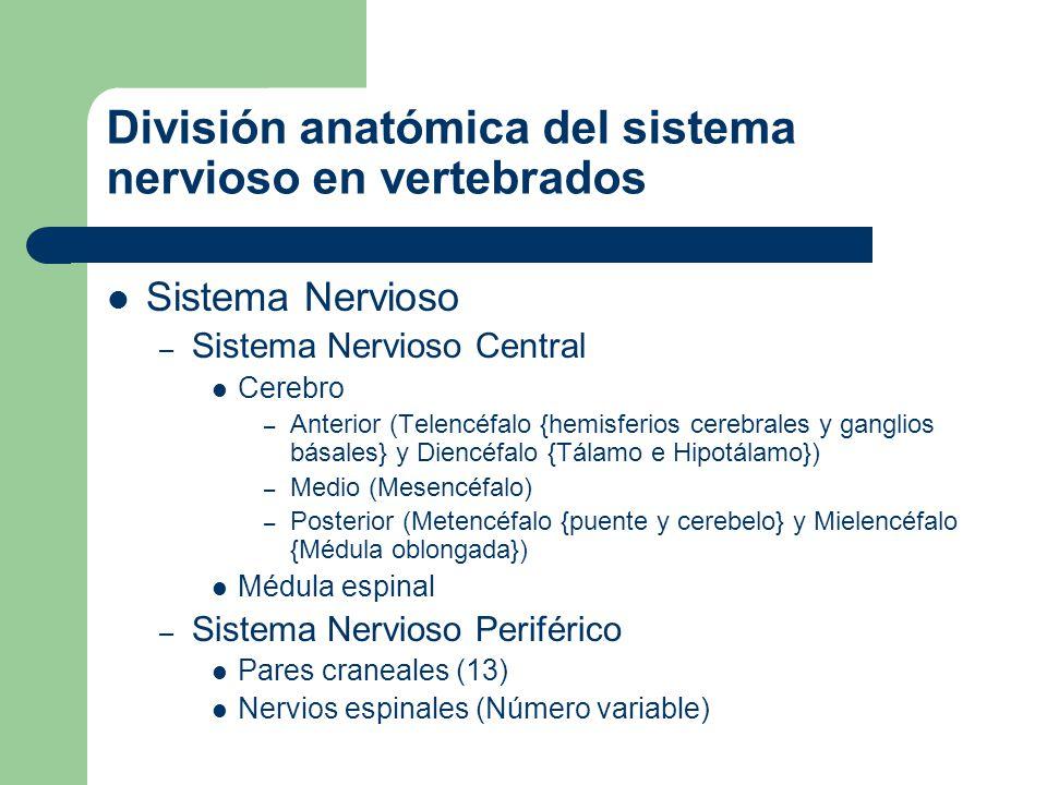 División anatómica del sistema nervioso en vertebrados
