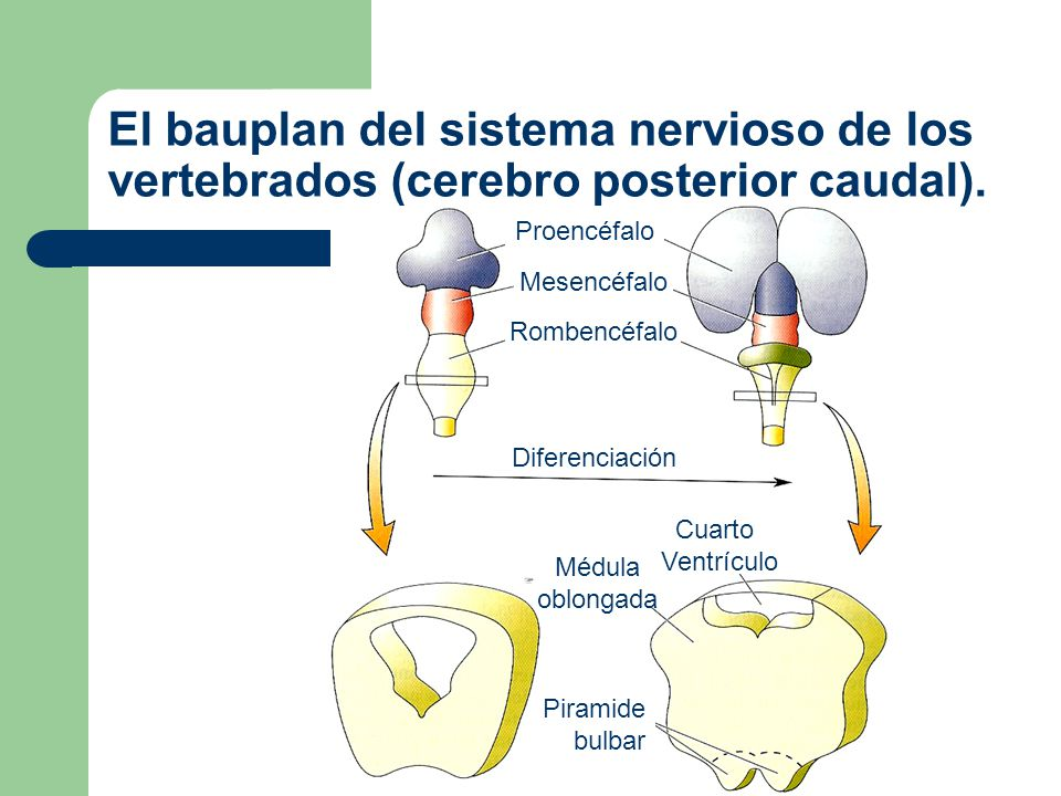 El bauplan del sistema nervioso de los vertebrados (cerebro posterior caudal).