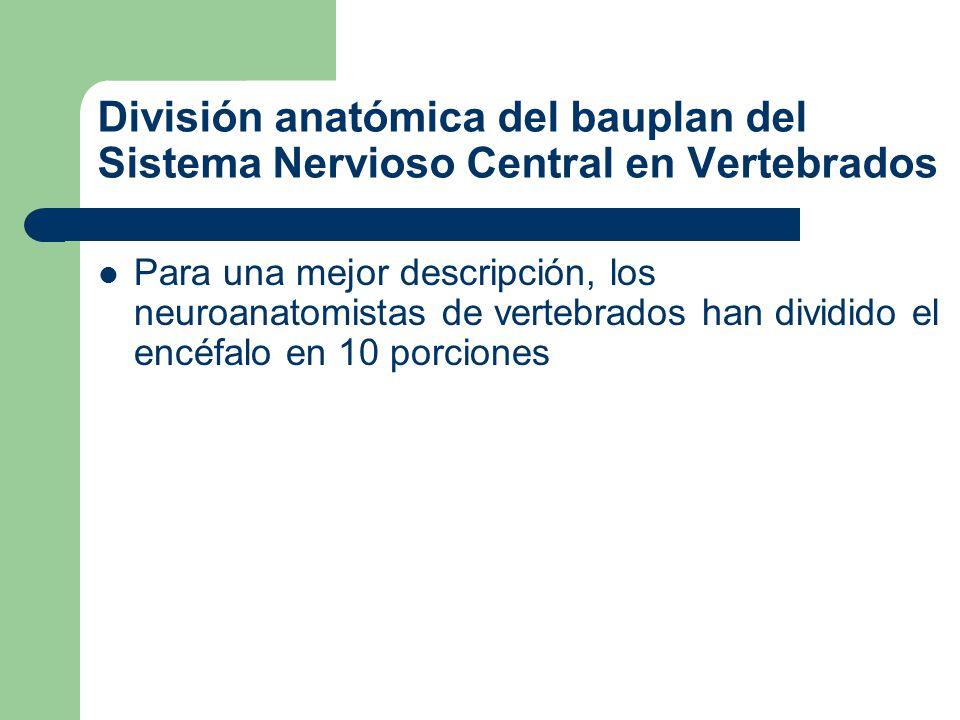 División anatómica del bauplan del Sistema Nervioso Central en Vertebrados