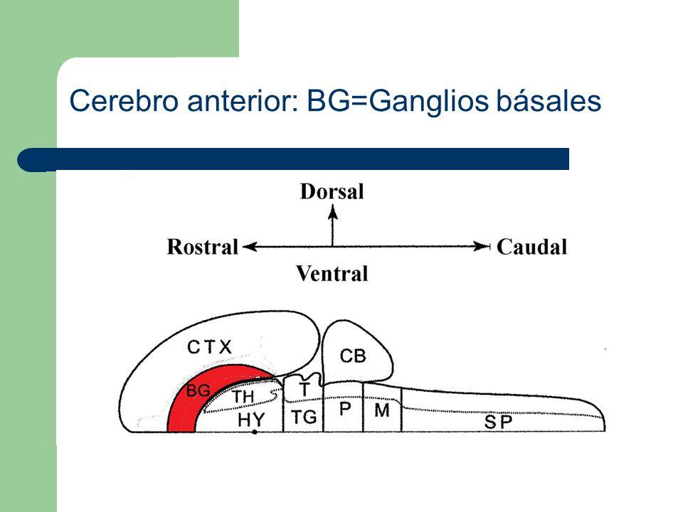 Cerebro anterior: BG=Ganglios básales