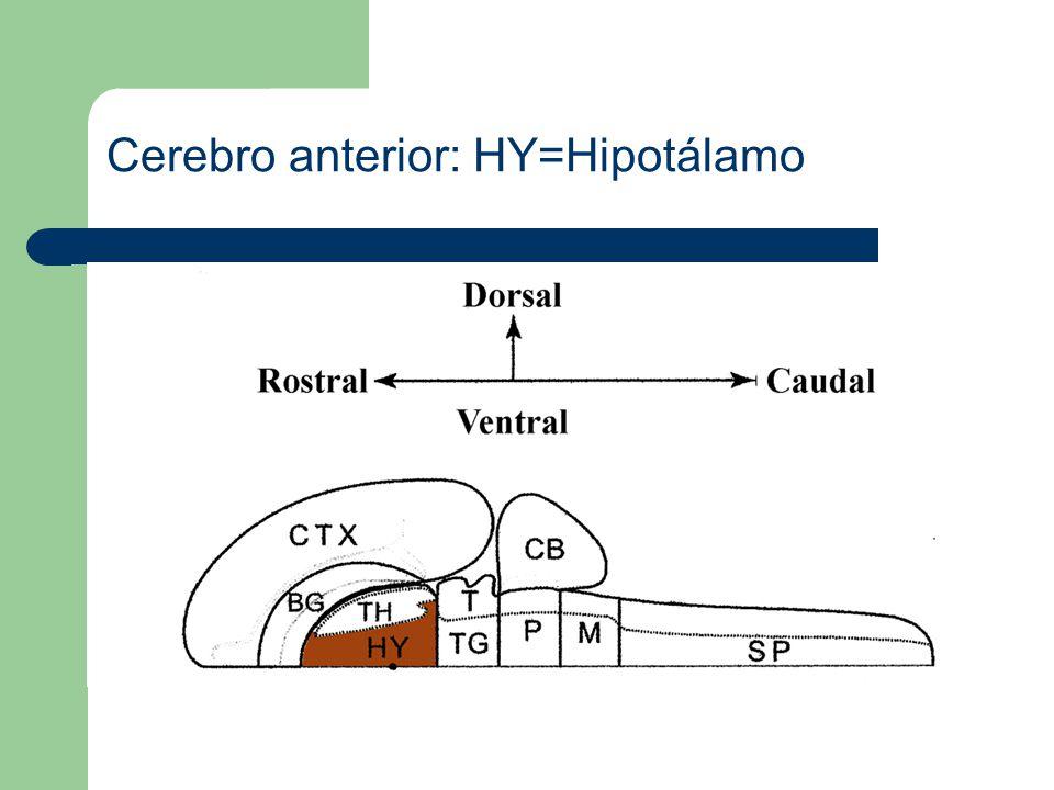 Cerebro anterior: HY=Hipotálamo