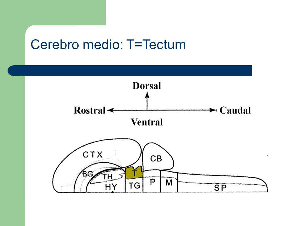 Cerebro medio: T=Tectum