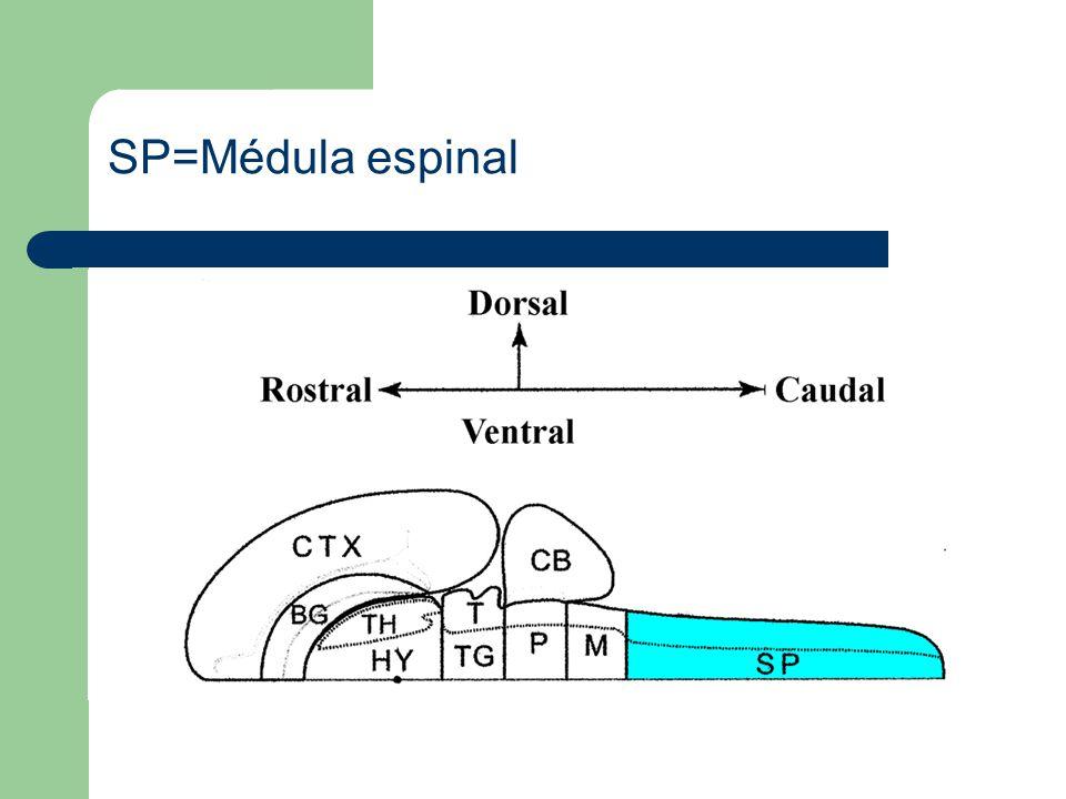 SP=Médula espinal
