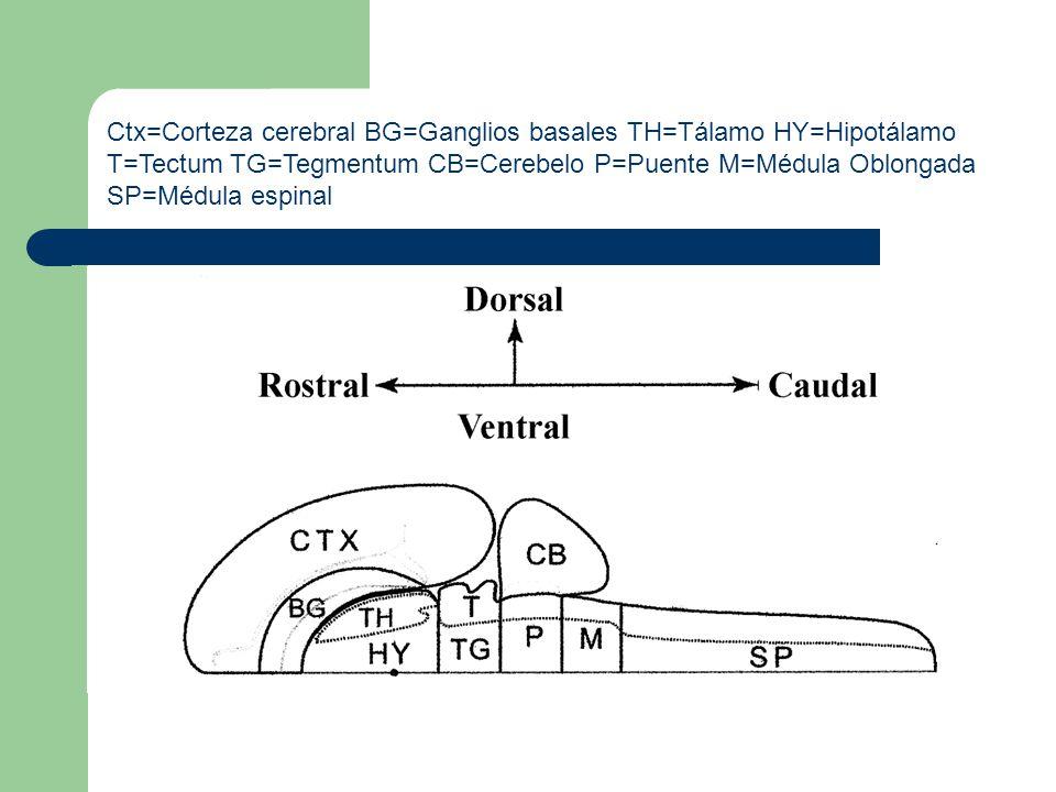 Ctx=Corteza cerebral BG=Ganglios basales TH=Tálamo HY=Hipotálamo