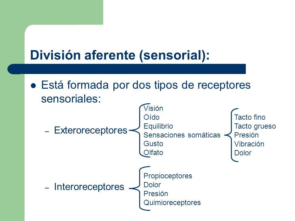 División aferente (sensorial):