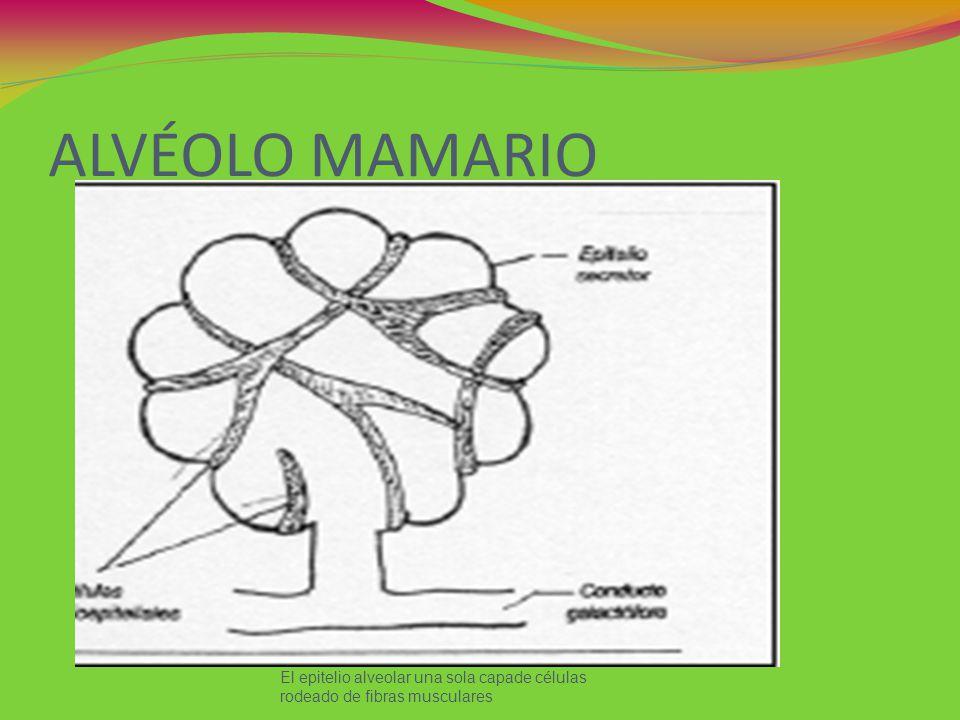 ALVÉOLO MAMARIO El epitelio alveolar una sola capade células rodeado de fibras musculares