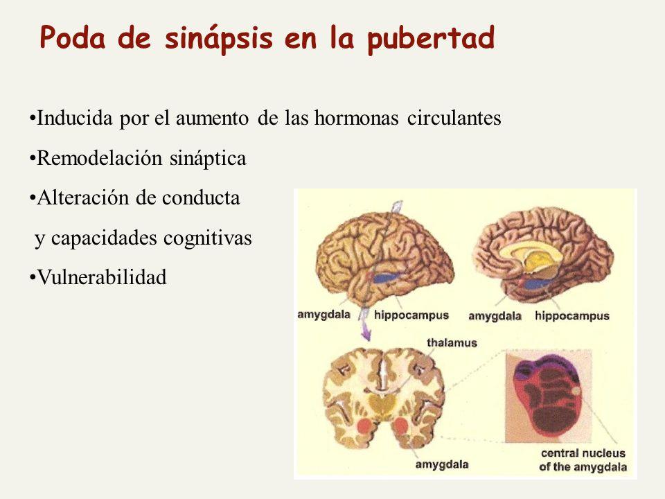 Poda de sinápsis en la pubertad