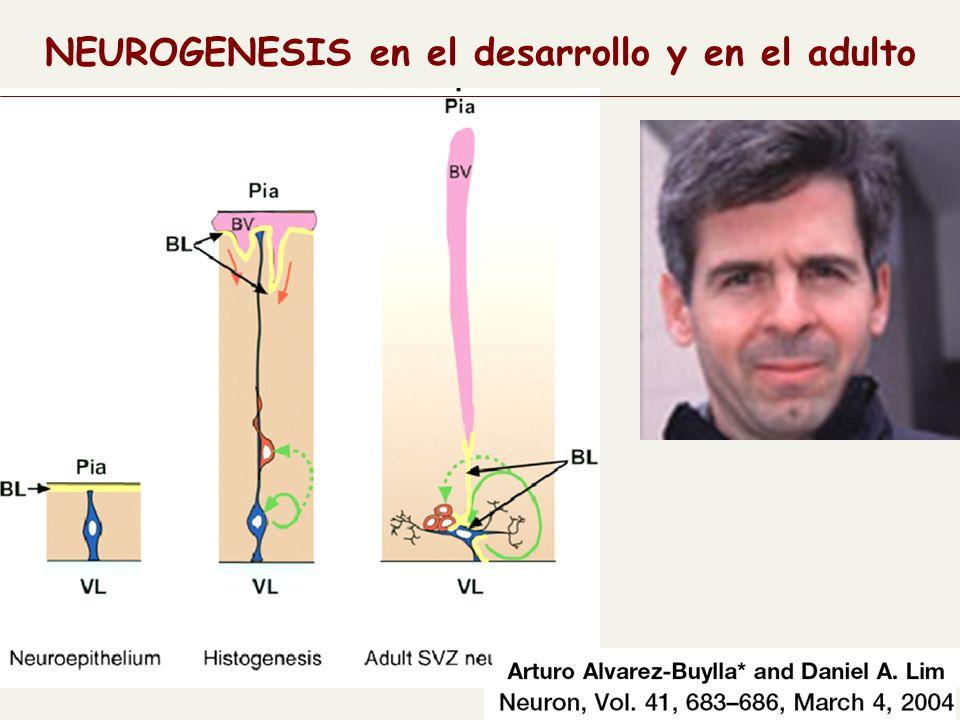 NEUROGENESIS en el desarrollo y en el adulto