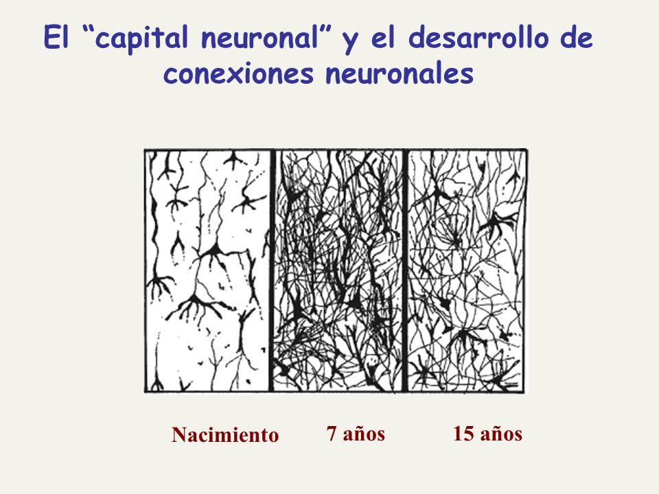 El capital neuronal y el desarrollo de conexiones neuronales