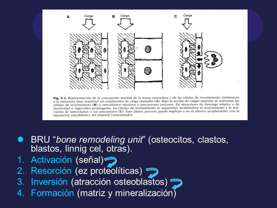 BRU bone remodeling unit (osteocitos, clastos, blastos, linnig cel, otras).