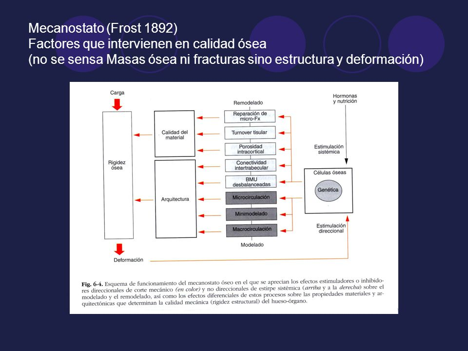 Mecanostato (Frost 1892) Factores que intervienen en calidad ósea (no se sensa Masas ósea ni fracturas sino estructura y deformación)
