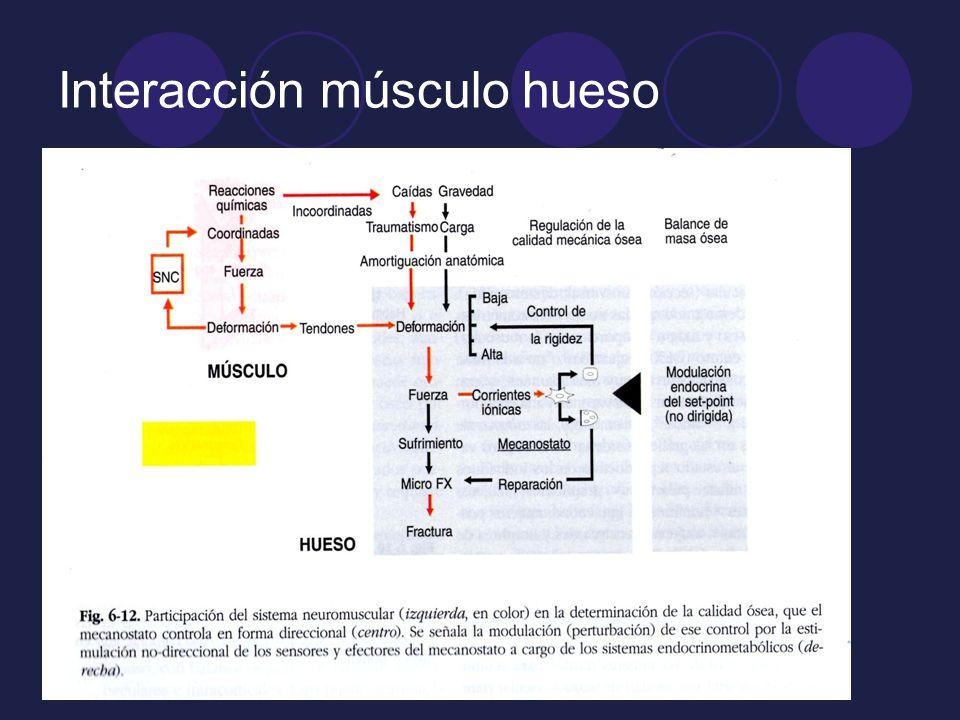 Interacción músculo hueso