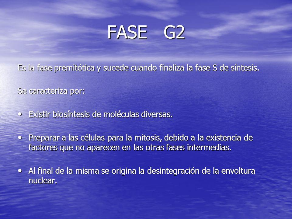FASE G2 Es la fase premitótica y sucede cuando finaliza la fase S de síntesis. Se caracteriza por: